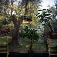 Camera Obscura: Garden With Olive Tree Inside Room With Plants, Outside Florence, Italy, 2009